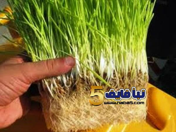 طريقة زراعة الشعير