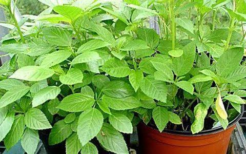 تعرف على كيفية زراعة نبات الملوخية بالخطوات