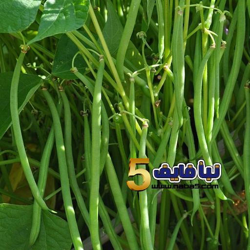 زراعة نبات اللوبياh - معلومات عن طريقة زراعة نبات اللوبيا بالخطوات