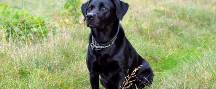 تفسير حلم الكلاب السوداء للعزباء
