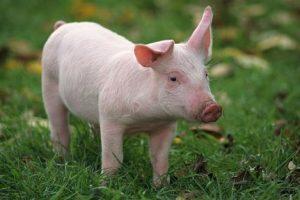 رؤية الخنزير في المنام تفسير الامام الصادق