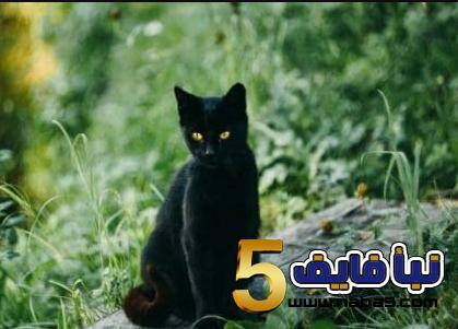 تفسير رؤية القط الأسود في المنام للعزباء