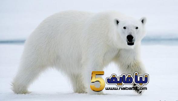 111 - تفسير رؤية الدب في المنام