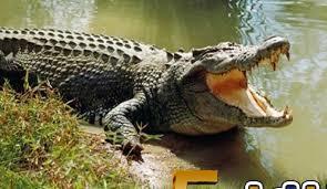 تفسير حلم مشاهدة التمساح في المنام